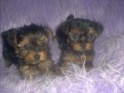 Teacup Yorkie Puppies For Free Rehoming