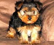 We Have Many Yorkie Puppies For Sale