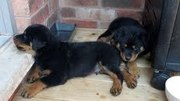 Cute AKC Rottweiler Pups 12wks old