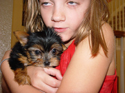 extremely cute yorkie puppies to loving homes